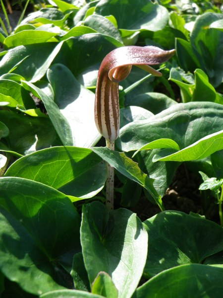 Arisarum vulgare (arisaro comune)