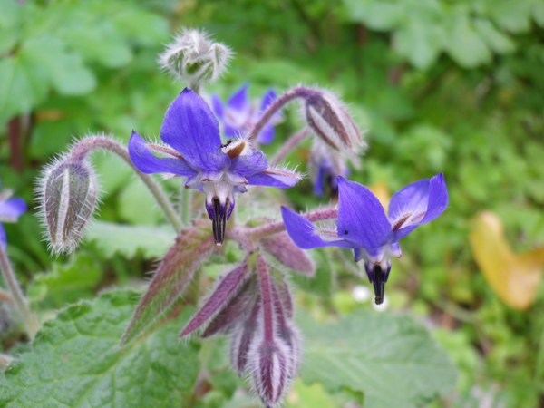 Borago officinalis (borragine)