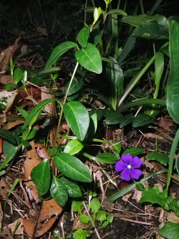 Vinca minor (pervinca minore)