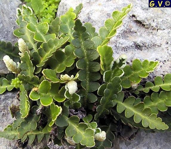 Ceterach officinarum (cedracca)