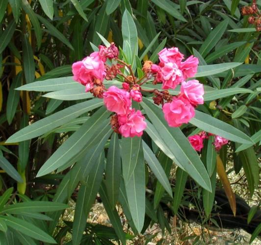 Nerium oleander oleandro for Oleandro riproduzione
