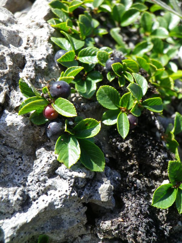 Rhamnus pumilus (Ranno spaccasassi)