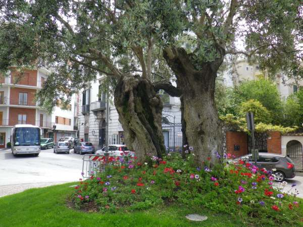 La folle tratta degli olivi secolari for Aiuola con ulivo